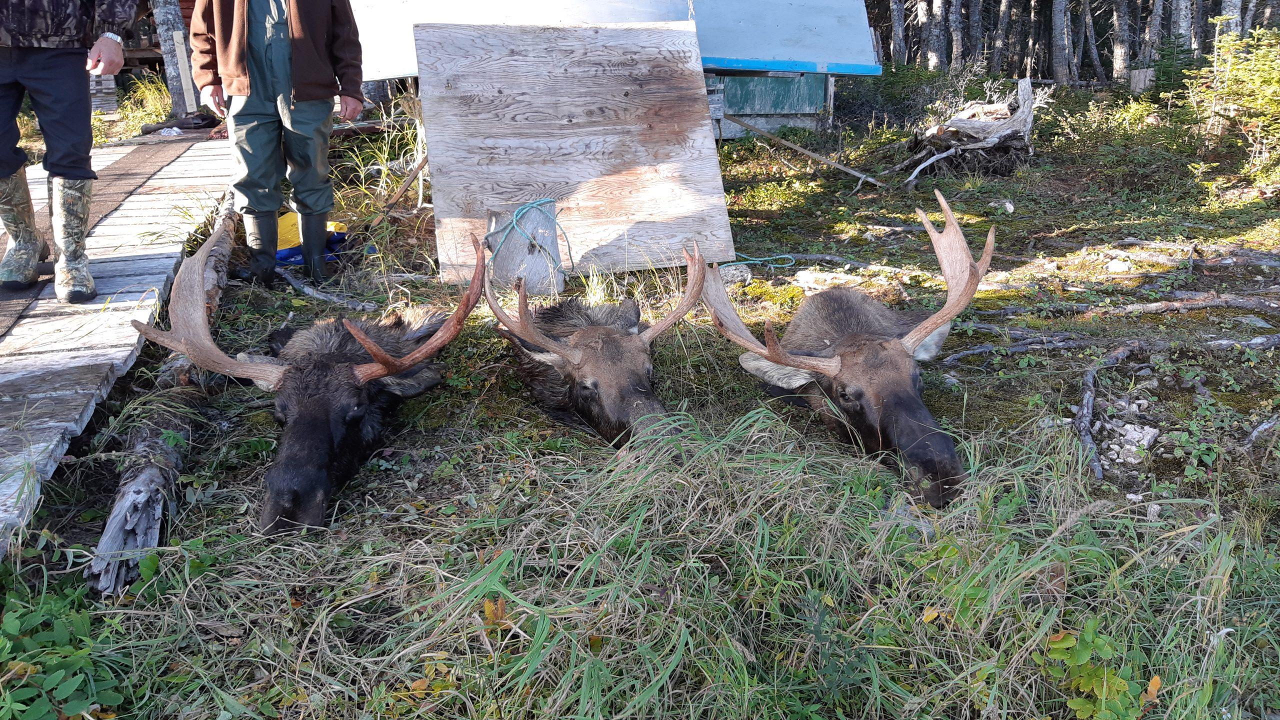 moose-head-1